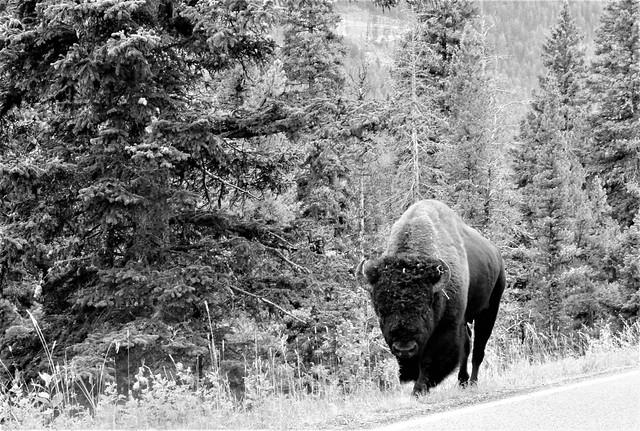 Bison bison --  The American Buffalo