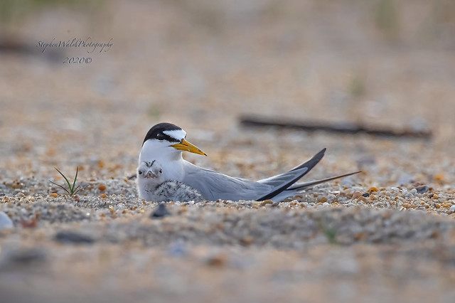 Least Tern & Chick.