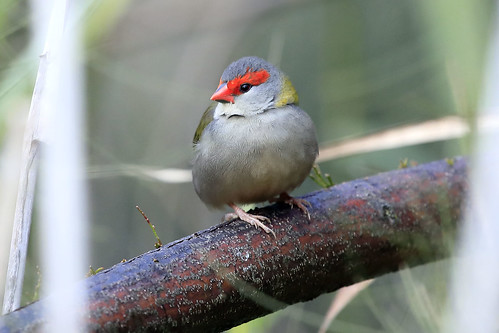 Red-browed finch | by dmmaus