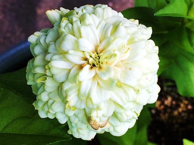Dahlia-Flowered Zinnia