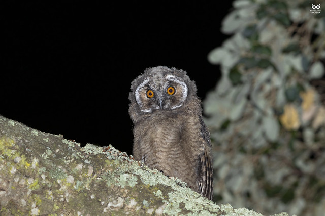 Bufo-pequeno, Long-eared Owl(Asio otus)