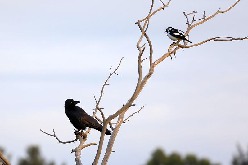 Australian raven vs Magpie-lark