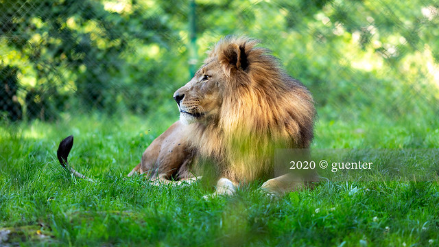Salzburg / Hellbrunn / Panthera leo