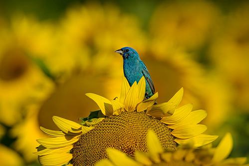 poolesville mckeebesherswildlifemanagementarea poolesvillemd sunflowers indigobunting birding