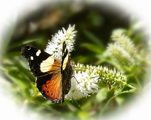 butterfly wellington zealandia 025988 rx100m6 schmetterling animals tiere insekt insects outdoor outside garden garten nature natur newzealand ngc npc