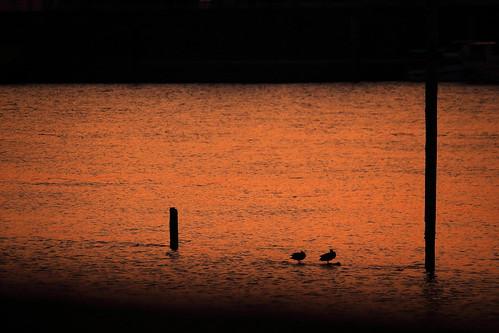 ichikawa chiba japan river kyuedoriver bird birds sunset water