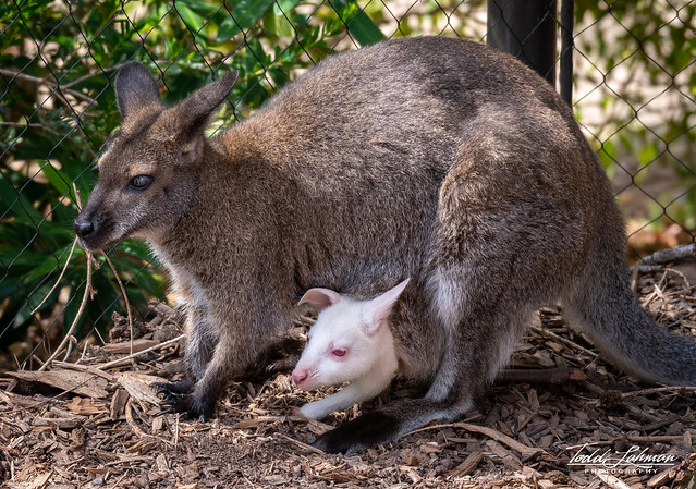 Wallaby Baby