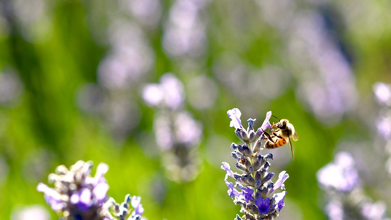 lavender + bee, a love story