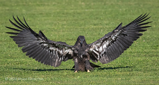 The Incredible Wings Of A Juvenile Bald Eagle