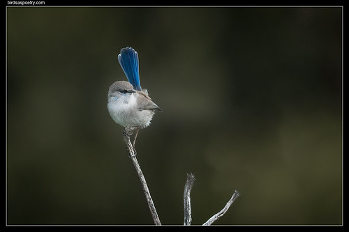 Superb Fairywren: Bring on the Season Yeah! | by birdsaspoetry