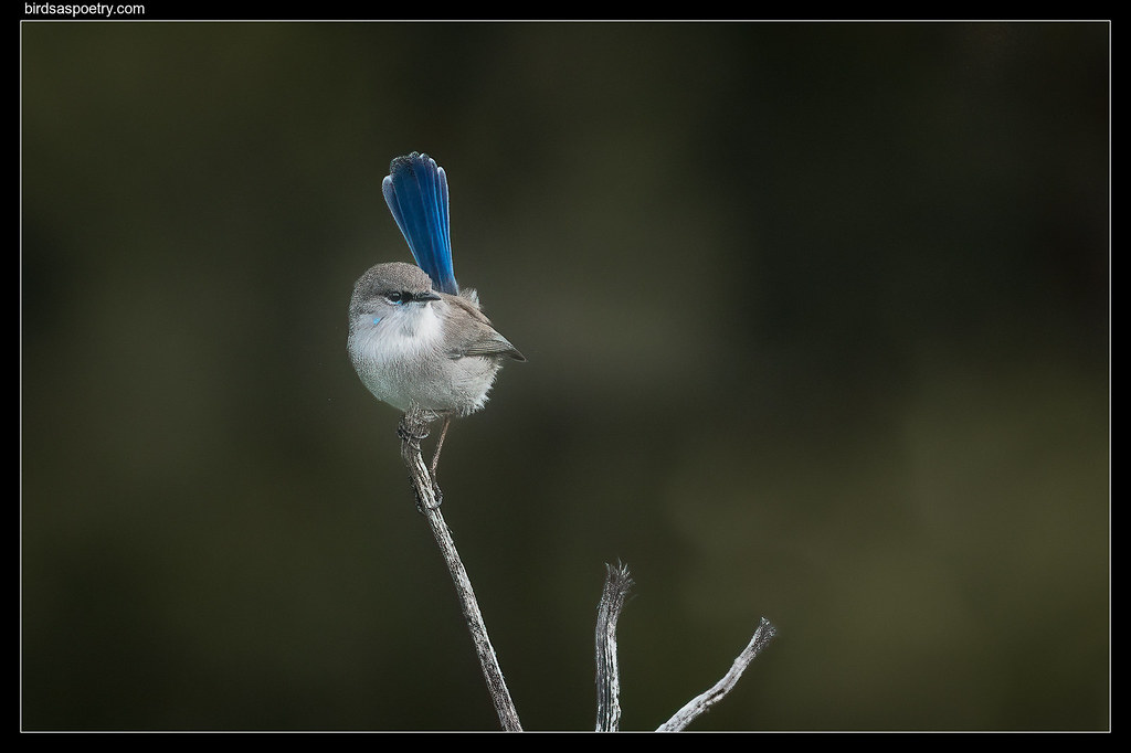Superb Fairywren: Bring on the Season Yeah!