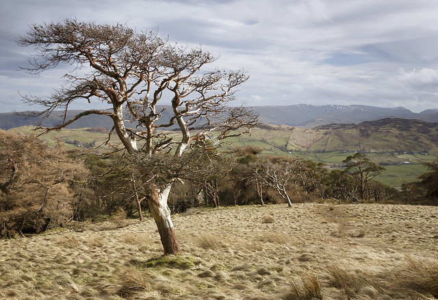 Dead pine on Great Mell Fell, Matterdale, Lake District National Park, Cumbria, UK