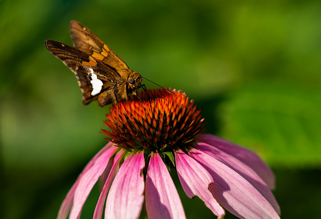 Moth on Echinacea