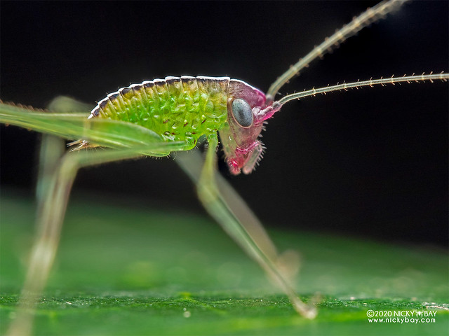 Katydid nymph (Tettigoniidae) - P7261248