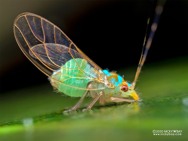 Plant louse (Psyllidae) - P7261229