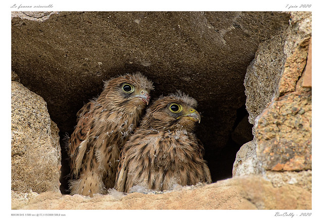 Le faucon crécerelle | Common kestrel