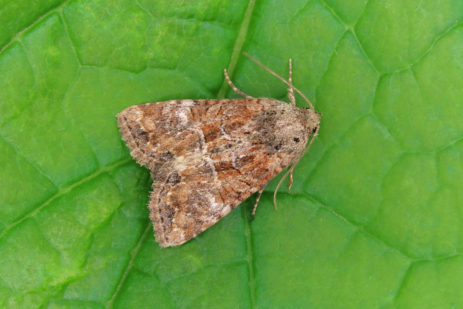 73.172 Cloaked Minor - Mesoligia furuncula