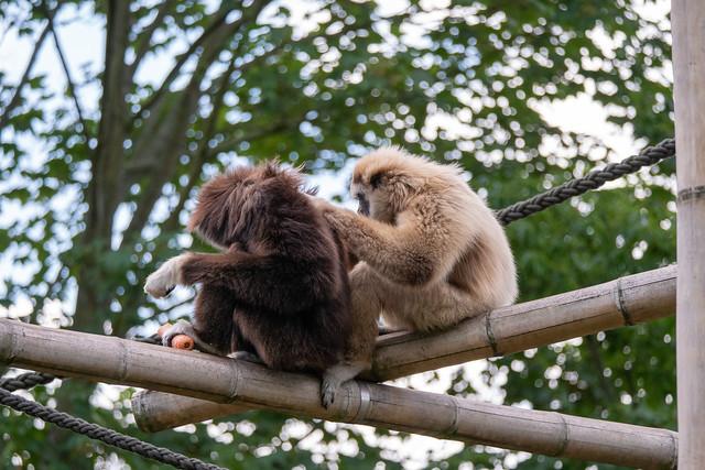 Tierpark Berlin: Zwei Weißhandgibbons lausen sich gegenseitig - Berlin Tierpark (Animal Park): Two lar gibbons, also called white-handed gibbons, lousing each other