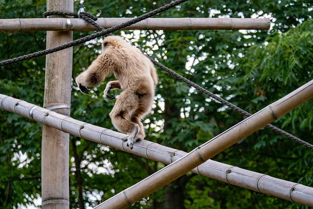Tierpark Berlin: Freihändig kletternder Weißhandgibbon - Berlin Tierpark (Animal Park): Lar gibbon, also called white-handed gibbon, balancing freehand while climbing