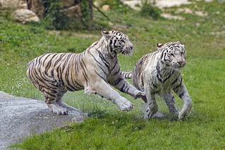 Tigresses running together