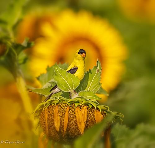 flower mckeebeshers background bird goldfinch maryland summer sunflowers sunrise wildlife poolesville unitedstatesofamerica