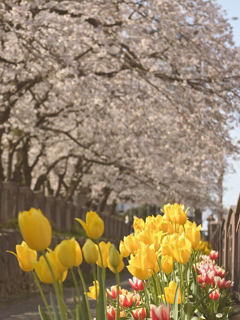 チューリップと桜並木