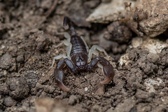 Scorpion - Euscorpius sp.