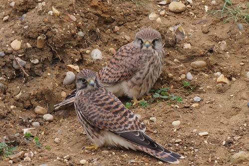 Fledgling Kestrels | by Hammerchewer