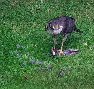 Sparrow Hawk with prey