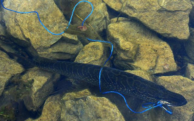 Pike on a Stringer