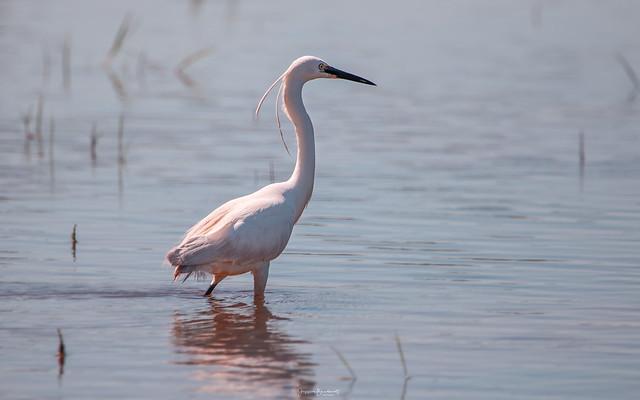 Aigrette garzette, Little Egret.