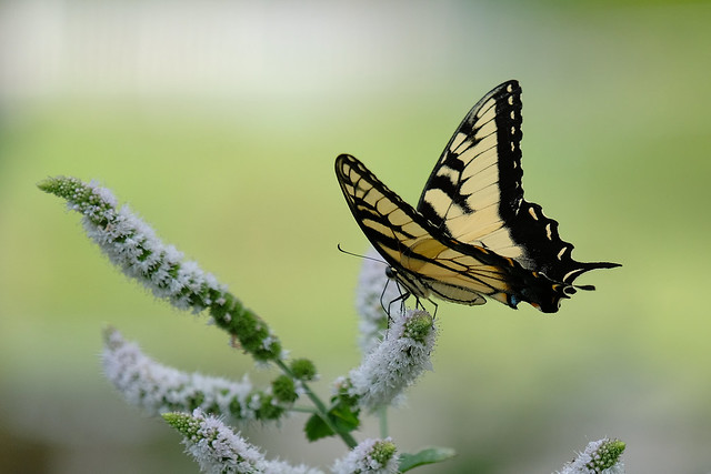 The Poser - Tiger Swallowtail Butterfly - Papilio glaucus