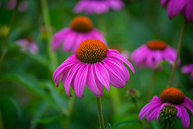 Close-up of Purple Coneflower, a herbaceous flowering plant in the daily family