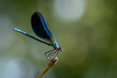 Callopteryx Vierge - Beautiful Demoiselle - Callopteryx virgo