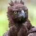 Orel bojovný (Polemaetus bellicosus)
