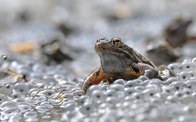 Italy, European common brown frog