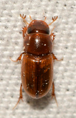 Alloblackburneus sp.