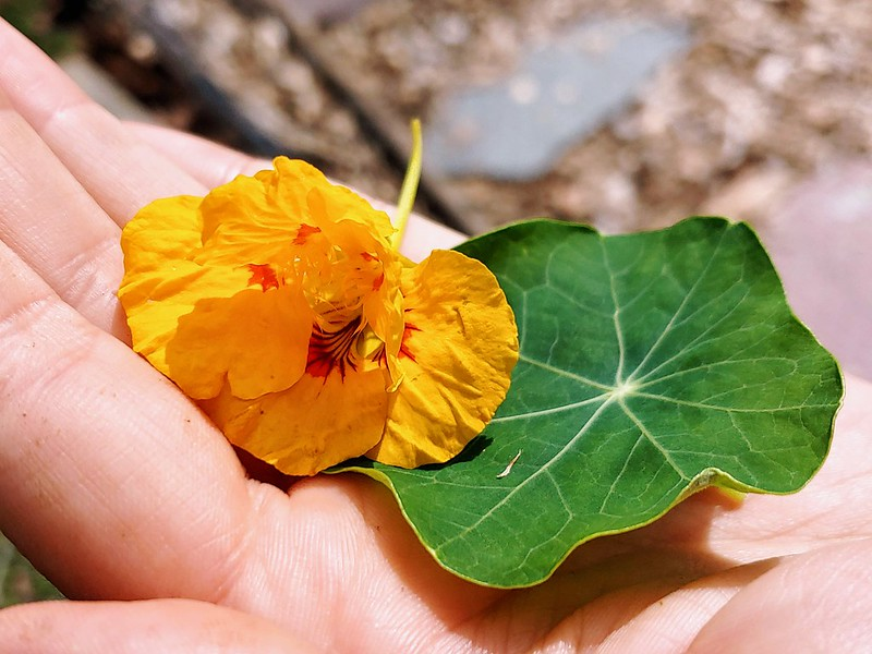 Nasturtium flower + leaf = both edible!