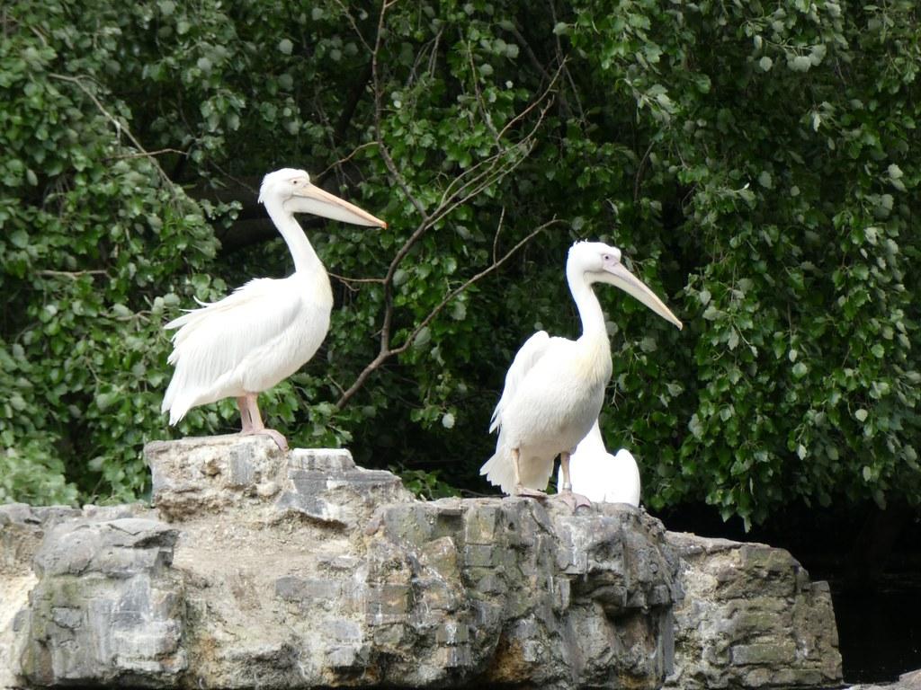 Pelicans in St.James's Park