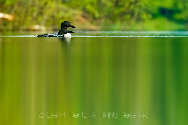 Common Loon in Ottawa National Forest, Michigan
