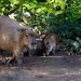 Kapybara (Hydrochoerus hydrochaeris)