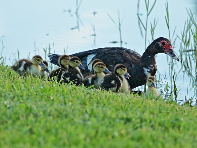 Muscovy hen and 9 ducklings 02-20200726
