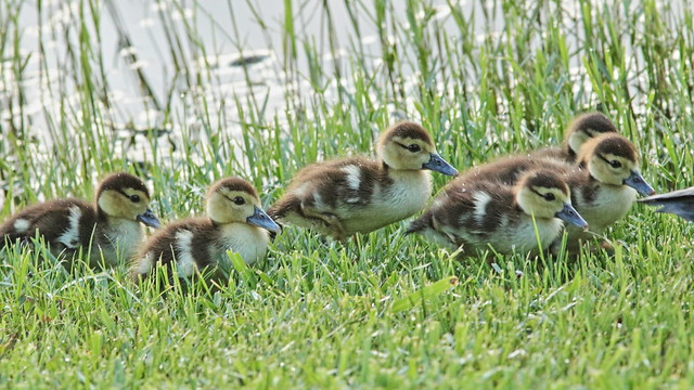 Muscovy ducklings 01-20200726