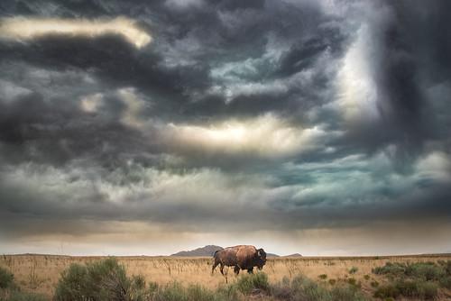 Bison Storm