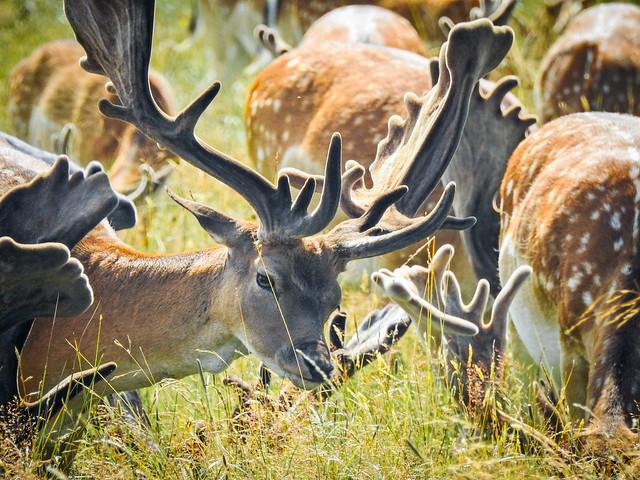 Deer of Deer Park