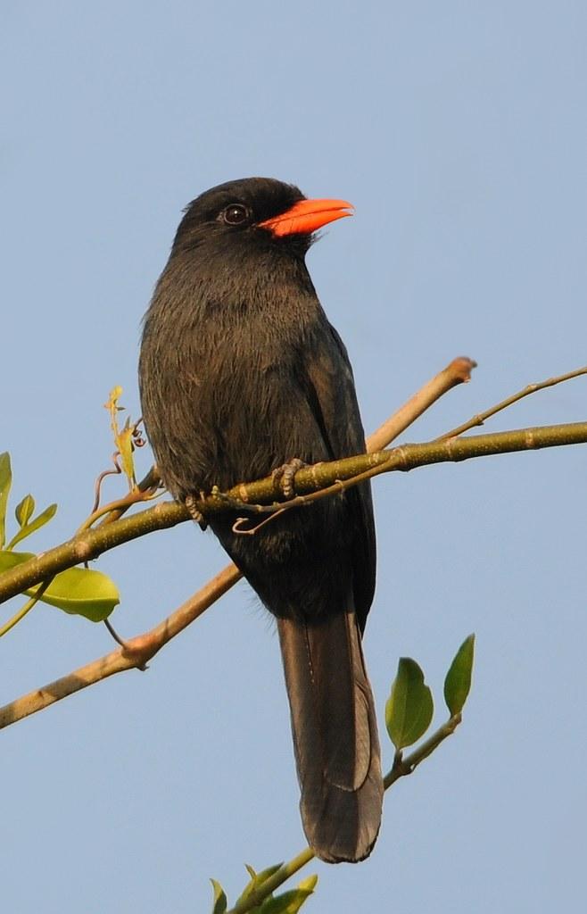 Chora-chuva-preto / Bico-de-brasa / Black-fronted Nunbird