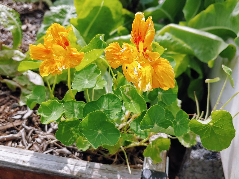 Nasturtium in the [back] Lettuce Bed