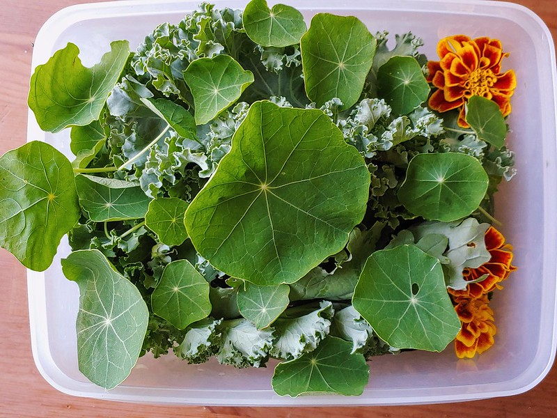 The Salad Container - Nasturtium leaves!