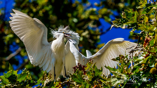 birds egrets shorebirdrookery somya7m3 sony100400mm mtview ca us thegalaxy thechallengegame