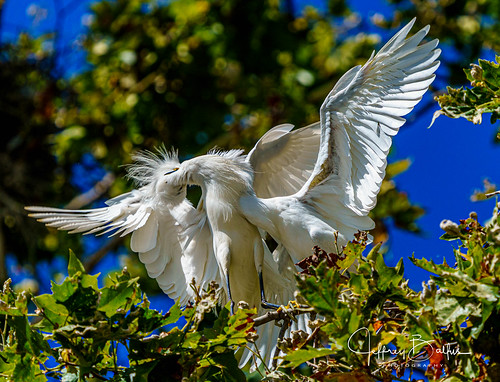 birds egrets shorebirdrookery somya7m3 sony100400mm mtview ca us